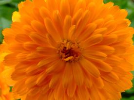 orange-flower.jpg