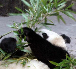 panda-giant