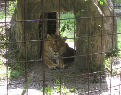 Real Liger Facts |