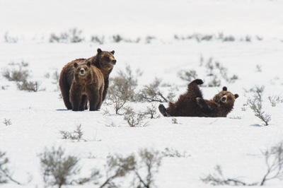 Grizzly Bear 399 and cubs walking over snow-covered sagebrush in Grand Teton National Park.