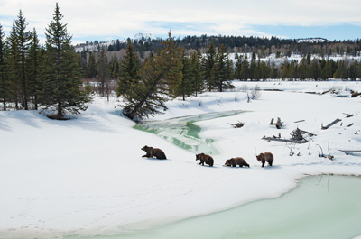 Grizzly 399 and her three cubs cross Buffalo Fork in Grand Teton National Park, Wyoming.