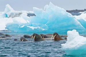 Atlantic Walrus (O. rosmarus rosmarus) and blue ice berg, Franz Josef Land, Russia