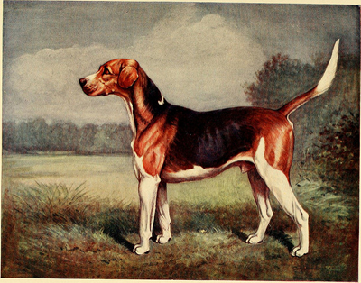 beagle-illustration